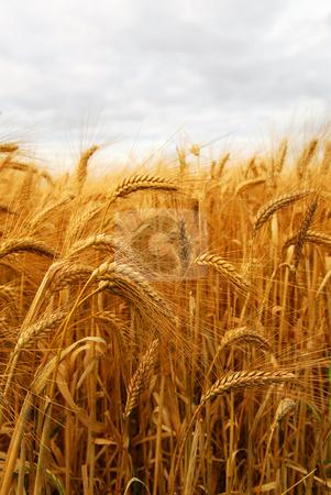 Wheat stock photo, Golden wheat growing in a farm field by Elena Elisseeva