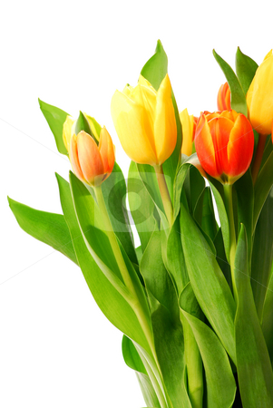 Tulips stock photo, Close up on fresh tulips bouquet on white background by Elena Elisseeva