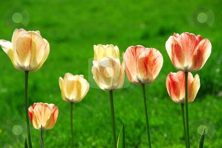Tulips stock photo, Fresh spring tulips growing in a garden, green background by Elena Elisseeva
