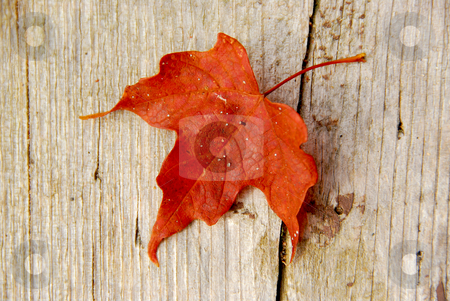 Maple leaf red stock photo, Closeup on red maple leaf on wood background by Elena Elisseeva