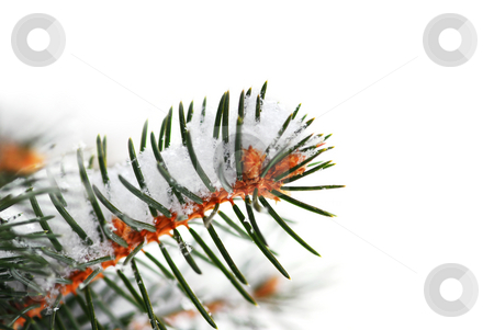 Snowy spruce branch stock photo, Christmas background with snowy spruce tree branch isolated on white by Elena Elisseeva