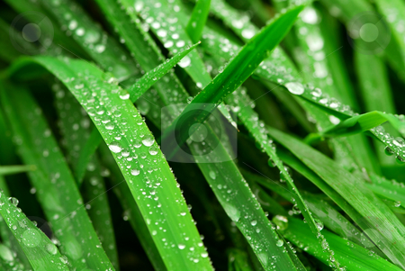 Raindrops on grass stock photo, Big water drops on green grass blades, closeup by Elena Elisseeva