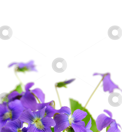 Violets stock photo, Spring border with white copy space and violets by Elena Elisseeva