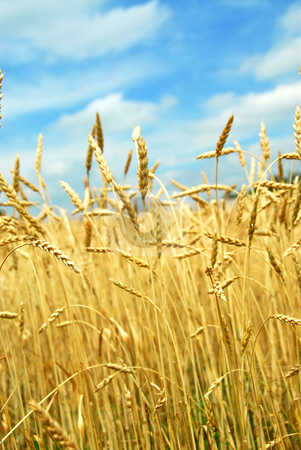 Grain field stock photo, Yellow grain ready for harvest growing on a farm field by Elena Elisseeva
