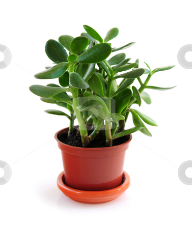 Houseplant on white background stock photo, Young Jade houseplant isolated on white background by Elena Elisseeva