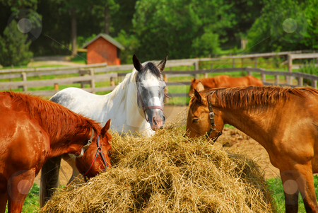 Horses surrounding hay stock photo, Several horses feeding at the runch on bright summer day by Elena Elisseeva