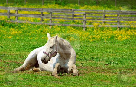 White horse stock photo, White horse resting at the ranch in early summer by Elena Elisseeva