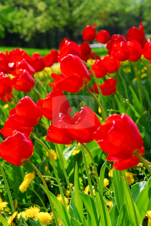 Red spring tulips stock photo, Bright red tulips blooming in a spring garden by Elena Elisseeva