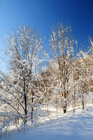 Winter forest stock photo, Winter landscape of a sunny forest covered with snow by Elena Elisseeva