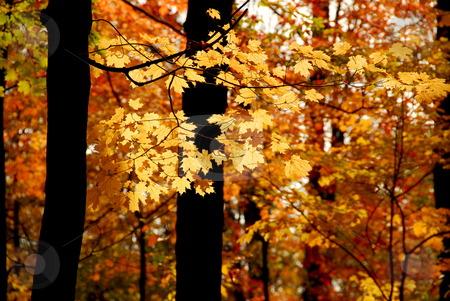 Fall forest stock photo, Maple branch with sunlit yellow leaves in autumn forest by Elena Elisseeva
