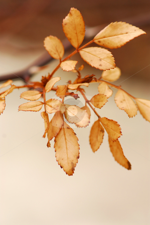 Dry leaves stock photo, Dry leaves on a rose bush branch, closeup by Elena Elisseeva