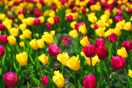 Tulip field stock photo, Field of colorful yellow and purple tulips by Elena Elisseeva