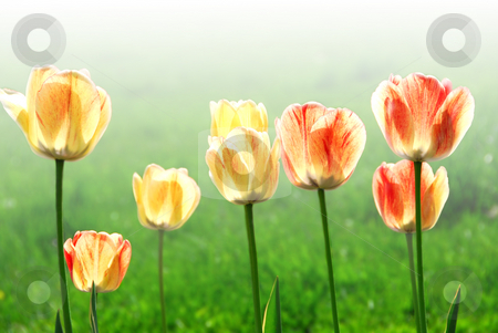 Tulips stock photo, Fresh spring tulips growing in a garden, faded  background by Elena Elisseeva