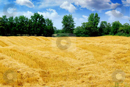 Harvested grain field stock photo, Farm field with yellow harvested grain by Elena Elisseeva