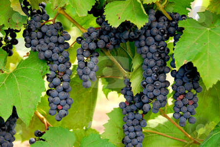 Grapes stock photo, Bunches of red grapes grow on a vine by Elena Elisseeva