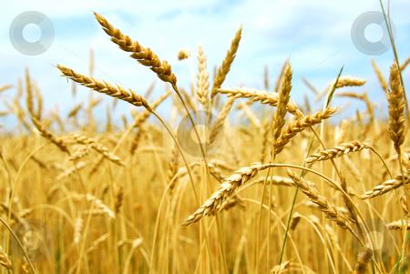 Grain field stock photo, Yellow grain ready for harvest growing in a farm field by Elena Elisseeva