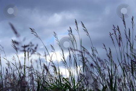 Evening grass stock photo, Grass blades at dusk on the background of gray blue sky by Elena Elisseeva