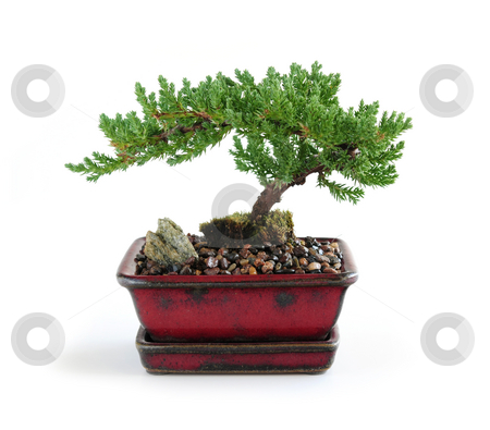 Bonsai tree stock photo, Bonsai tree in ceramic pot on white background by Elena Elisseeva