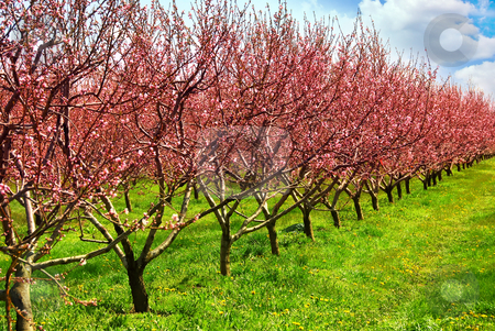 Fruit orchard stock photo, Row of blooming peach trees in a spring orchard by Elena Elisseeva