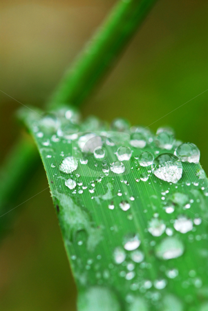 Raindrops on grass stock photo, Big water drops on a green grass blade, macro by Elena Elisseeva