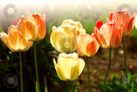 Tulips stock photo, Row of backlit spring tulips in flowerbed by Elena Elisseeva