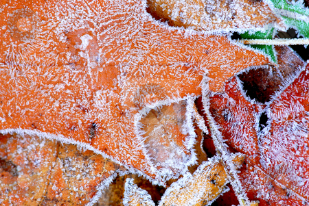 Frosty leaves stock photo, Macro of autumn leaves on the ground covered with morning frost by Elena Elisseeva