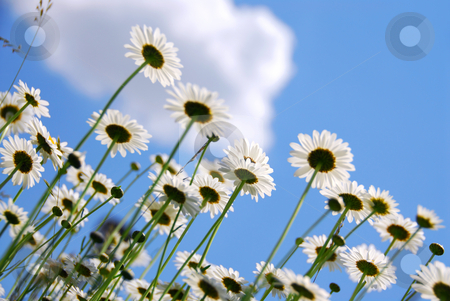 White daisies stock photo, White summer daisies reaching towards blue sky by Elena Elisseeva