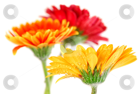 Gerbera flowers stock photo, Several colorful gerbera flowers with dew drops isolated on white background by Elena Elisseeva