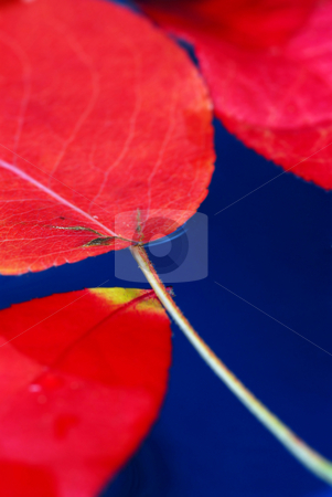 Fall leaves in water stock photo, Colorful fall leaves floating in blue water by Elena Elisseeva