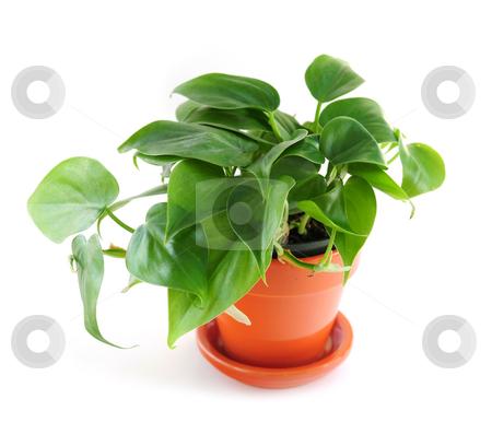 Houseplant on white background stock photo, Green trailing houseplant isolated on white background by Elena Elisseeva