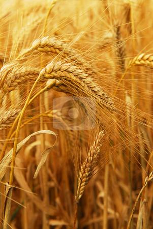 Wheat stock photo, Golden wheat growing in a farm field, closeup on ears by Elena Elisseeva