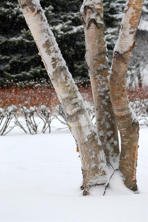 Winter park stock photo, Winter park with three birch trees during snowfall by Elena Elisseeva