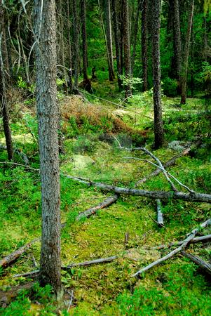 Dark forest stock photo, Wilderness dark green forest by Elena Elisseeva