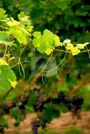 Grape vine branch stock photo, Backlit branch of grape vine by Elena Elisseeva