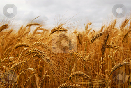 Wheat stock photo, Golden wheat growing in a farm field, closeup on ears by Elena Elisseeva