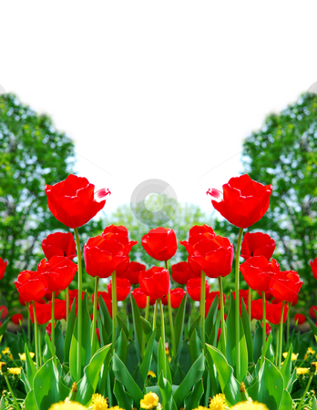 Red spring tulips stock photo, Floral background of bright red tulips blooming in a spring garden by Elena Elisseeva