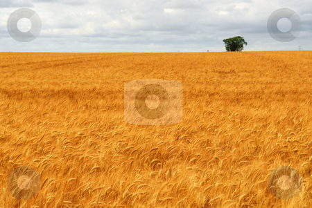 Wheat field stock photo, Agricultural landscape of golden wheat growing in a farm field by Elena Elisseeva