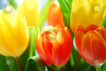 Tulips stock photo, Close up on fresh tulips bouquet in warm sunlight by Elena Elisseeva