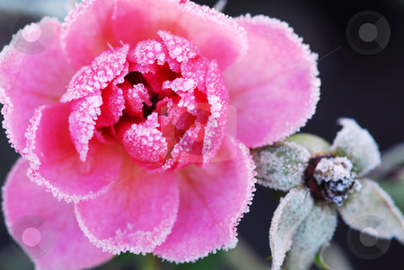 Icy rose stock photo, Closeup of a pink rose covered by morning frost by Elena Elisseeva