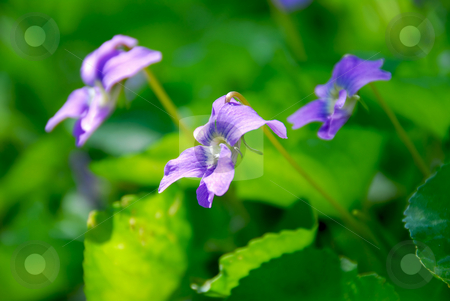 Violets in a garden stock photo, Wild violets growing in a spring garden by Elena Elisseeva