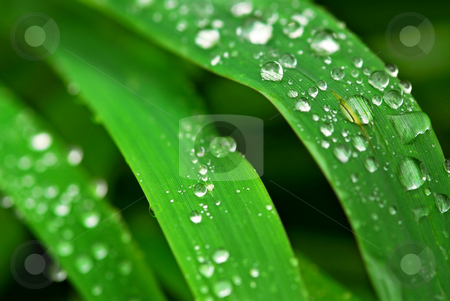 Raindrops on grass stock photo, Big water drops on green grass blades, extreme macro by Elena Elisseeva