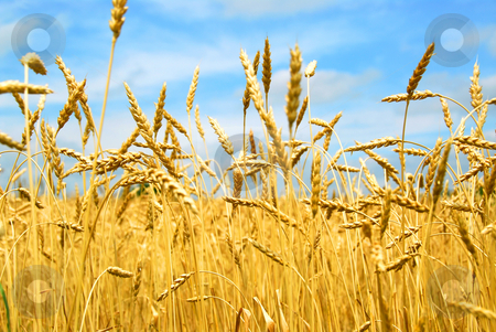 Grain field stock photo, Close up on grain ready for harvest growing in a farm field by Elena Elisseeva
