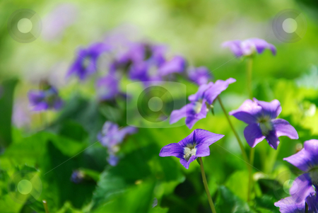 Violets in garden stock photo, Wild violets growing in a spring garden by Elena Elisseeva