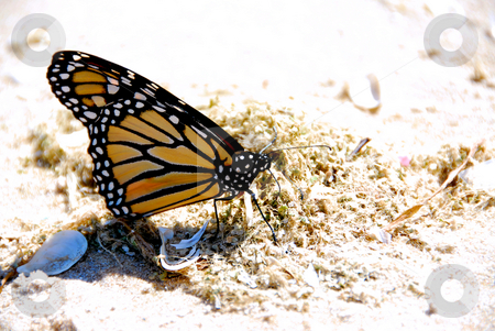 Monarch butterfly stock photo, Monarch butterfly on a beach close up by Elena Elisseeva