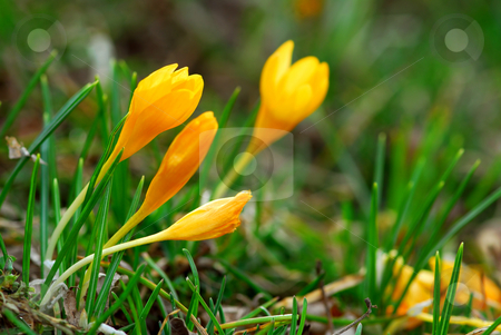 Crocus stock photo, Macro image of a yellow crocus flowers blooming in early spring by Elena Elisseeva