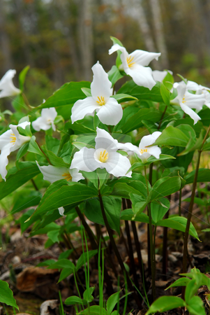 White Trillium stock photo, White Trillium blooming in woodlands, Ontario provincial flower by Elena Elisseeva