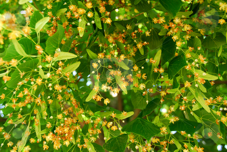 Blooming linden stock photo, Natural background of linden tree blooming in the summer by Elena Elisseeva