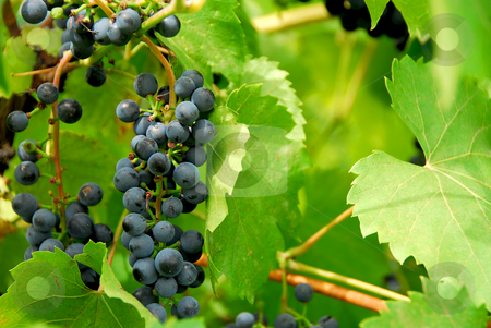 Grapes stock photo, Red grapes on a vine by Elena Elisseeva