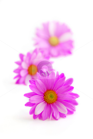 Pink flowers stock photo, Pink flowers close up on white background by Elena Elisseeva