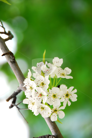 Apple blossom stock photo, Branch of a blooming tree with white blossom in springtime by Elena Elisseeva
